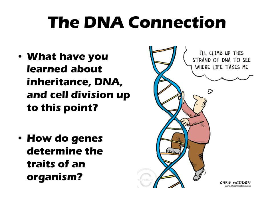 The DNA Connection What have you learned about inheritance, DNA, and cell division up to this point.