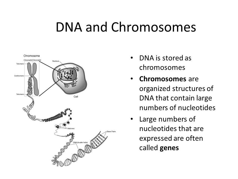 dna replication homework – Structure of Dna Worksheet