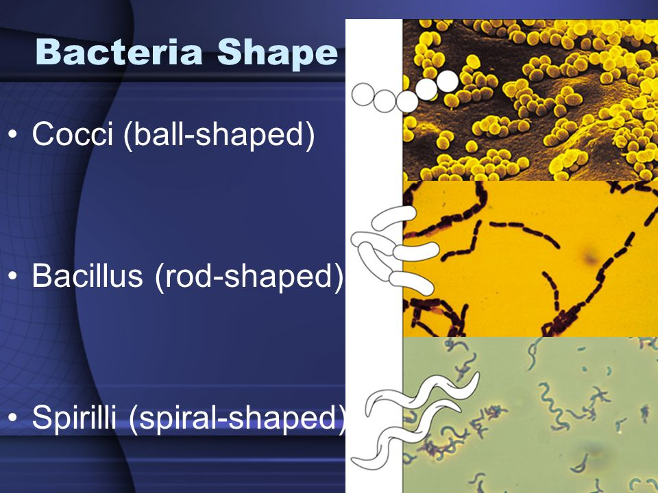 Bacteria Shape Cocci (ball-shaped) Bacillus (rod-shaped) Spirilli (spiral-shaped)