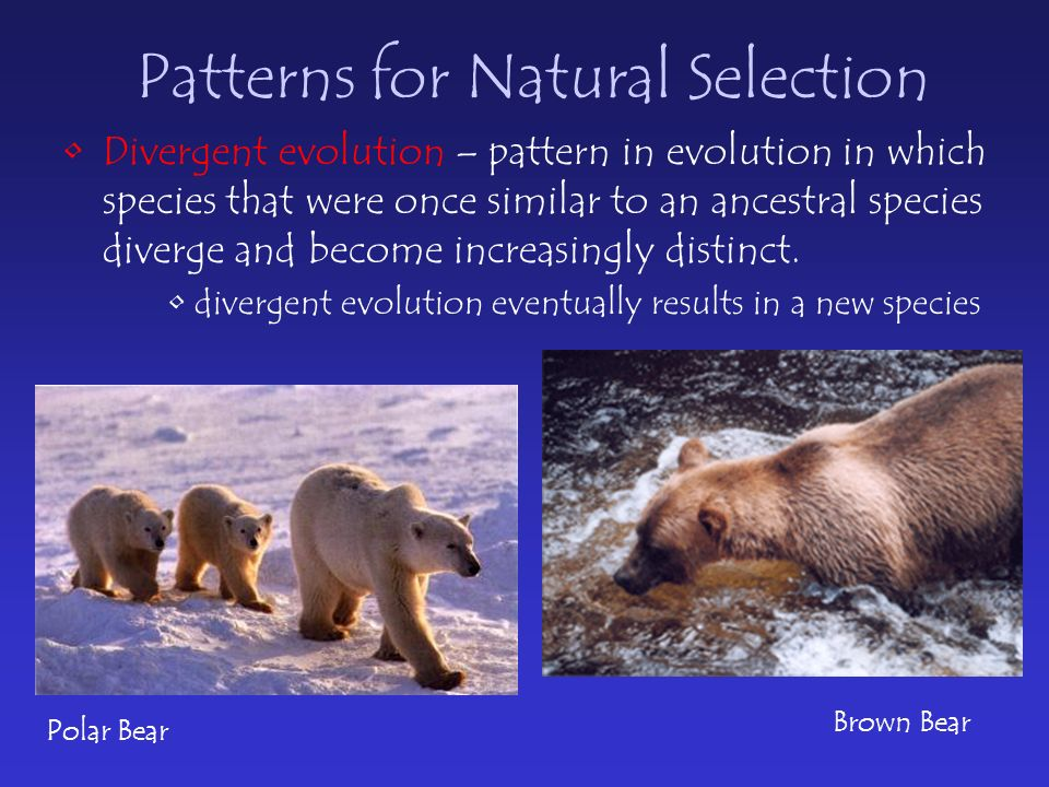 Patterns for Natural Selection Divergent evolution – pattern in evolution in which species that were once similar to an ancestral species diverge and become increasingly distinct.