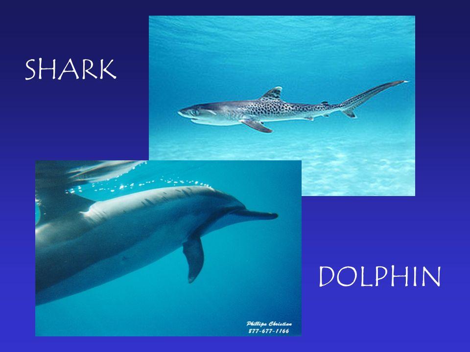 DOLPHIN SHARK