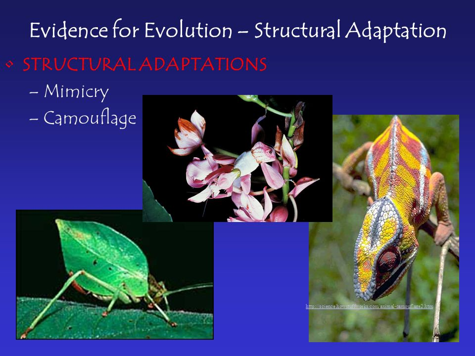 Evidence for Evolution – Structural Adaptation STRUCTURAL ADAPTATIONS –Mimicry –Camouflage http://science.howstuffworks.com/animal-camouflage2.htm