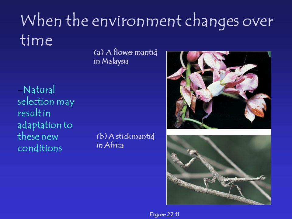 Figure 22.11 (a) A flower mantid in Malaysia (b) A stick mantid in Africa When the environment changes over time –Natural selection may result in adaptation to these new conditions
