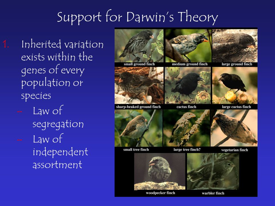 Support for Darwin's Theory 1.Inherited variation exists within the genes of every population or species –Law of segregation –Law of independent assortment