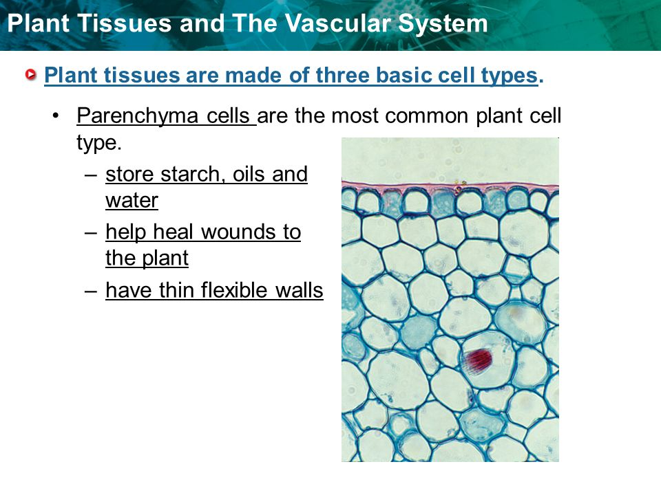 plant vascular tissue There are two types of vascular tissue: 1 xylem - moves water and minerals up from the ground to all parts of the plant consists of hollow structures made of cellulose cell walls (cytoplasm and membranes degenerate during development.