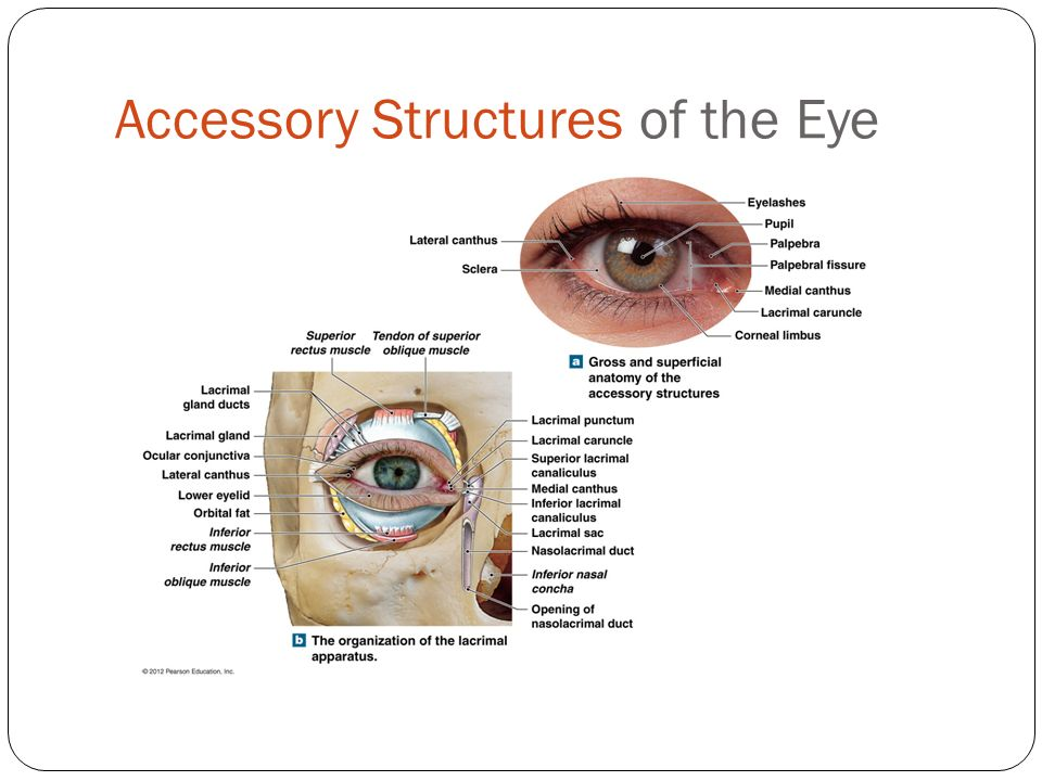 Contemporary Lacrimal System Anatomy Sketch - Human Anatomy Images ...