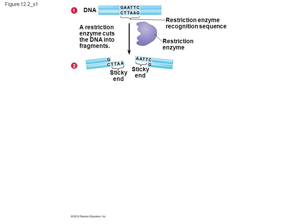 Figure 12.2_s1 A restriction enzyme cuts the DNA into fragments.