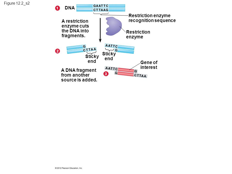 Figure 12.2_s2 A restriction enzyme cuts the DNA into fragments.