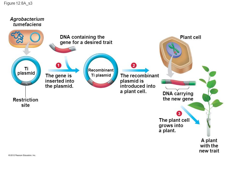 Figure 12.8A_s3 Restriction site The gene is inserted into the plasmid.