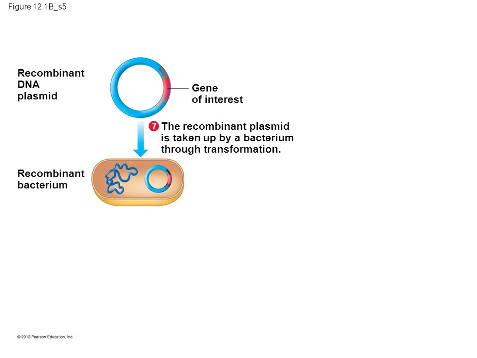 Figure 12.1B_s5 Gene of interest The recombinant plasmid is taken up by a bacterium through transformation.