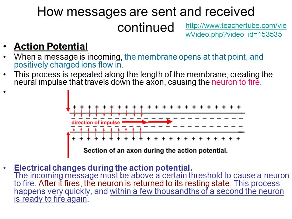 How messages are sent and received continued Action Potential When a message is incoming, the membrane opens at that point, and positively charged ions flow in.