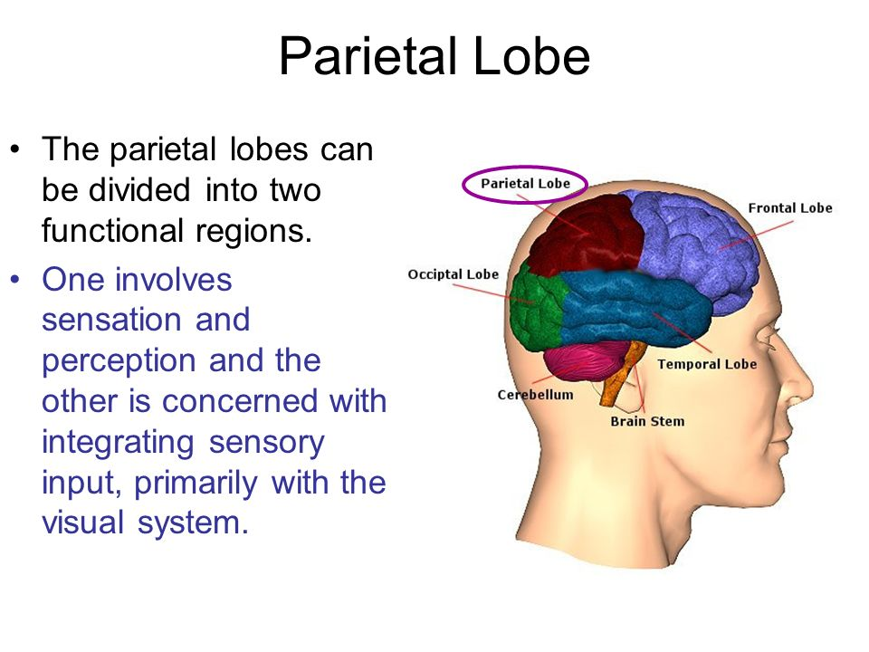 Parietal Lobe The parietal lobes can be divided into two functional regions.