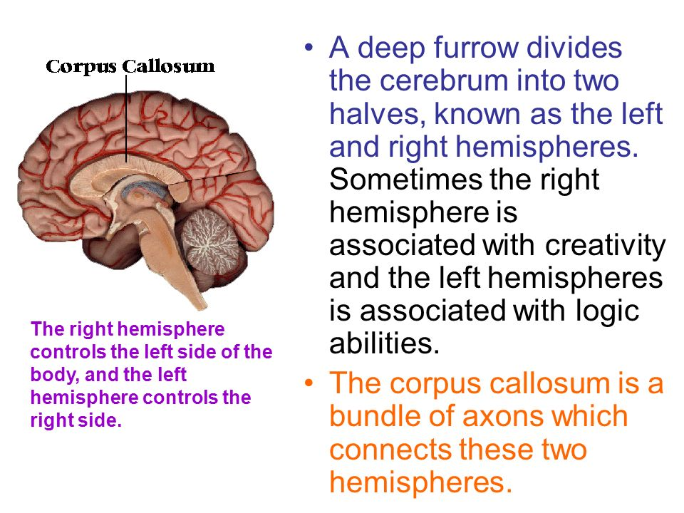 A deep furrow divides the cerebrum into two halves, known as the left and right hemispheres.