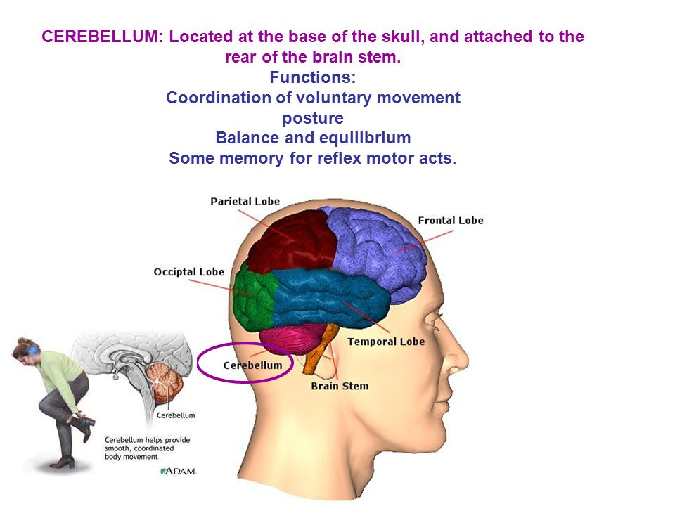 CEREBELLUM: Located at the base of the skull, and attached to the rear of the brain stem.