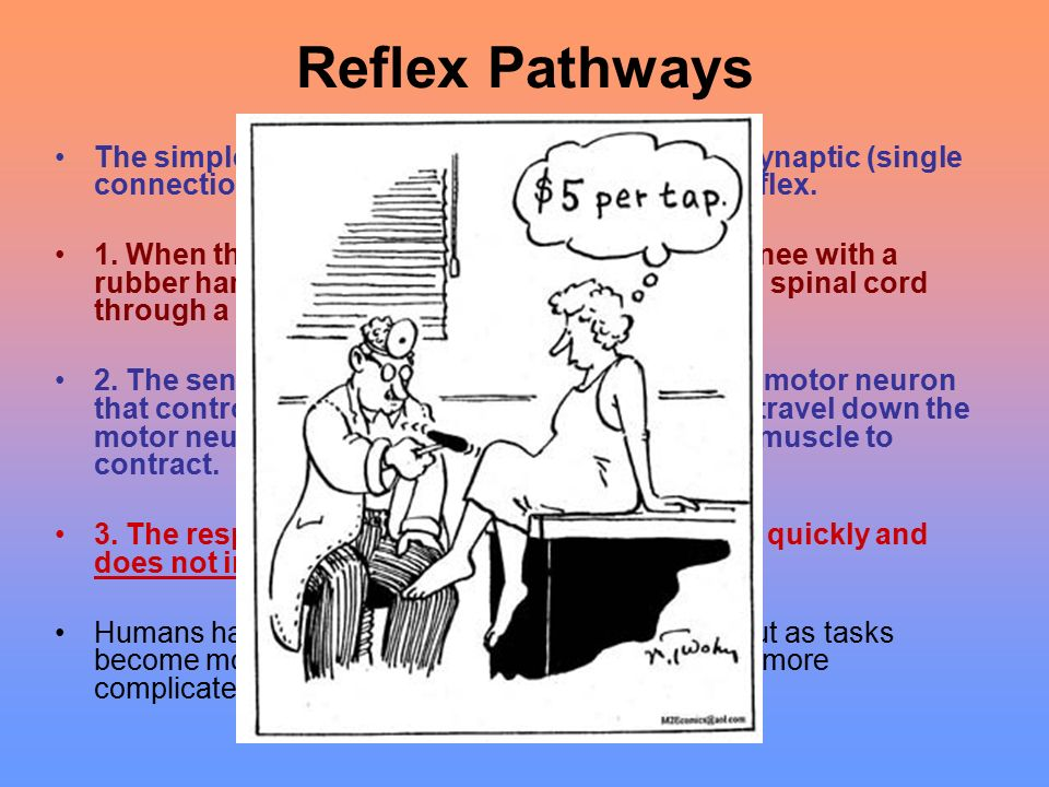 Reflex Pathways The simplest type of neural pathway is a monosynaptic (single connection) reflex pathway, like the knee-jerk reflex.