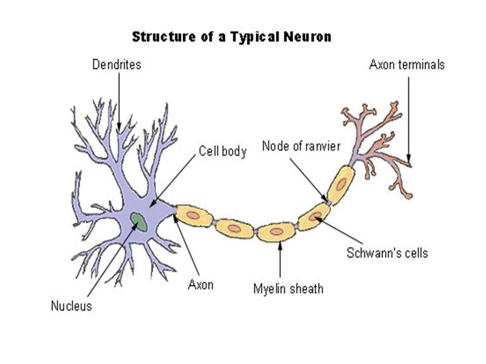 neuron anatomy activity - neuron anatomy activity nucleus