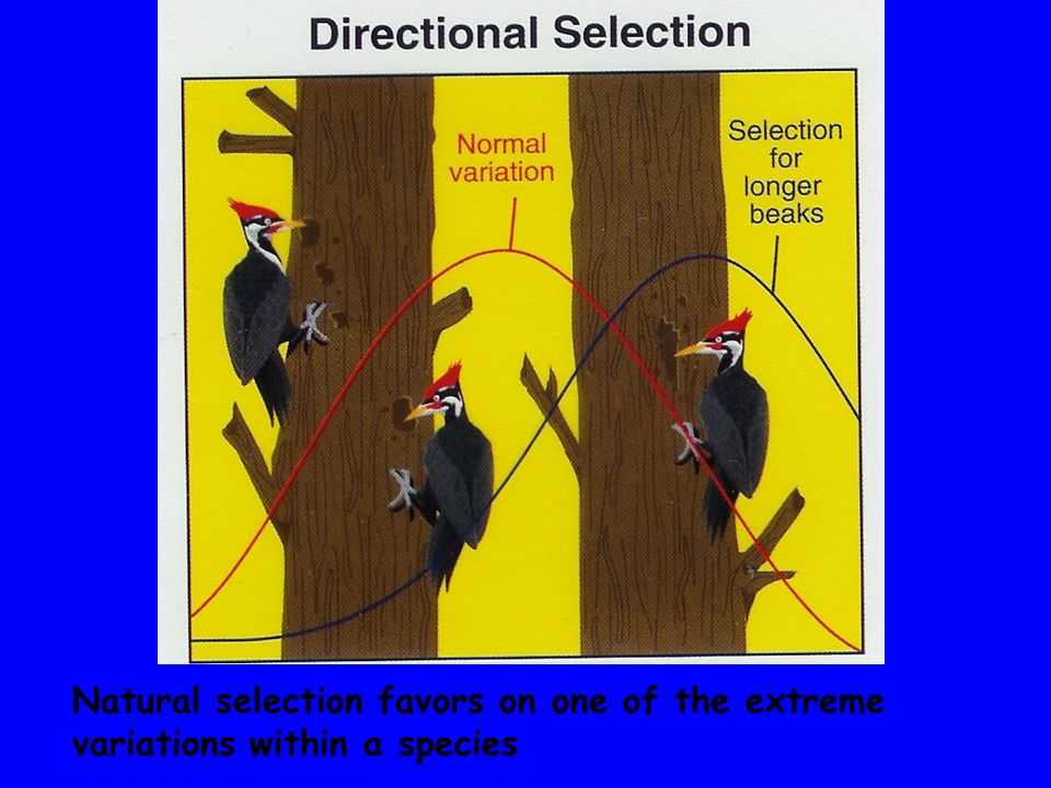 Natural selection favors the average individuals within a population