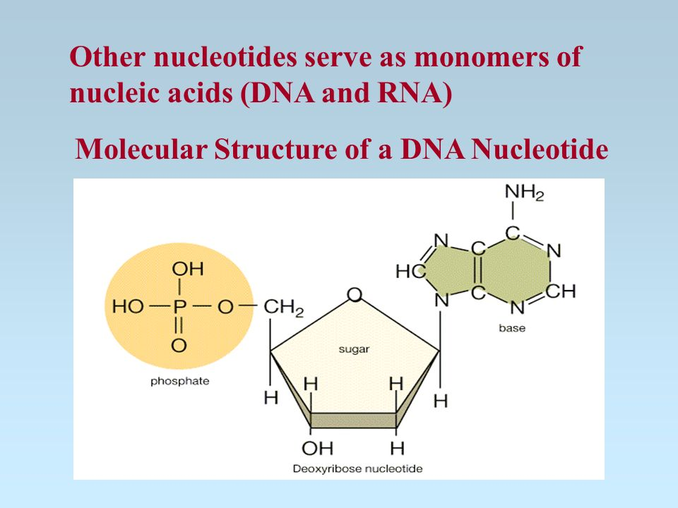 Nucleotides -complex of 5c sugar, phosphate group, N-base Functions: some act as indiv molecules Ex.