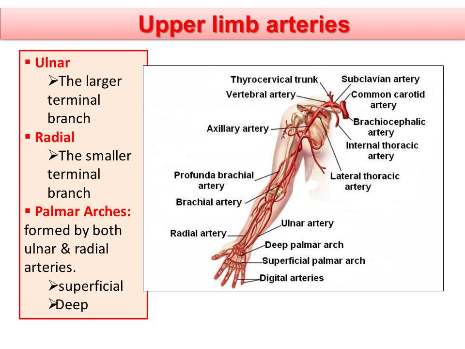 Upper limb arteries  Ulnar  The larger terminal branch  Radial  The smaller terminal branch  Palmar Arches: formed by both ulnar & radial arterie