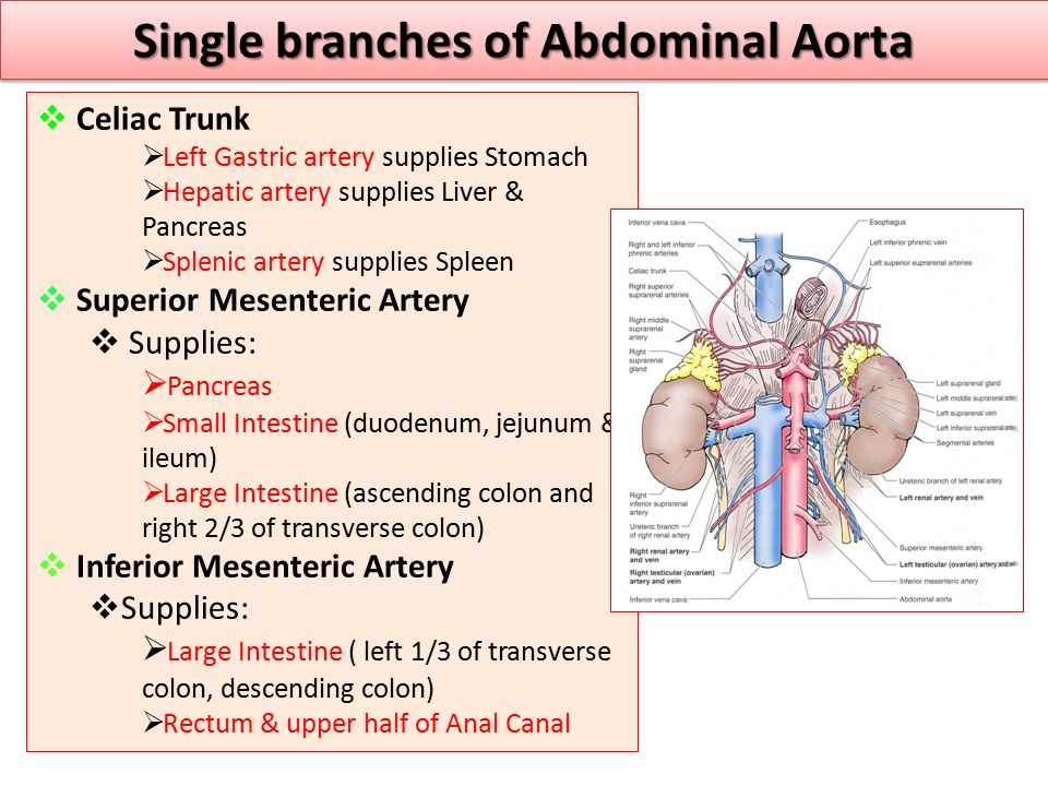Single branches of Abdominal Aorta  Celiac Trunk  Left Gastric artery supplies Stomach  Hepatic artery supplies Liver & Pancreas  Splenic artery s
