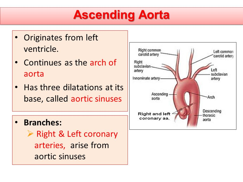 Ascending Aorta Originates from left ventricle. Continues as the arch of aorta Has three dilatations at its base, called aortic sinuses Branches:  Ri