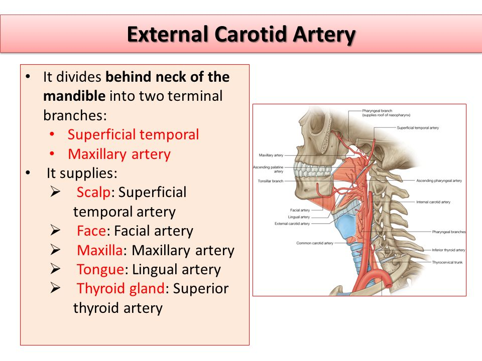 External Carotid Artery It divides behind neck of the mandible into two terminal branches: Superficial temporal Maxillary artery It supplies:  Scalp: