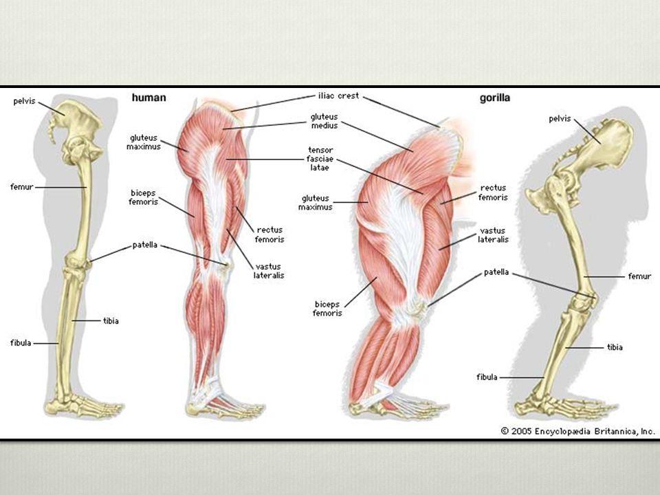 Hermosa Gorila Anatomía Muscular Patrón - Imágenes de Anatomía ...