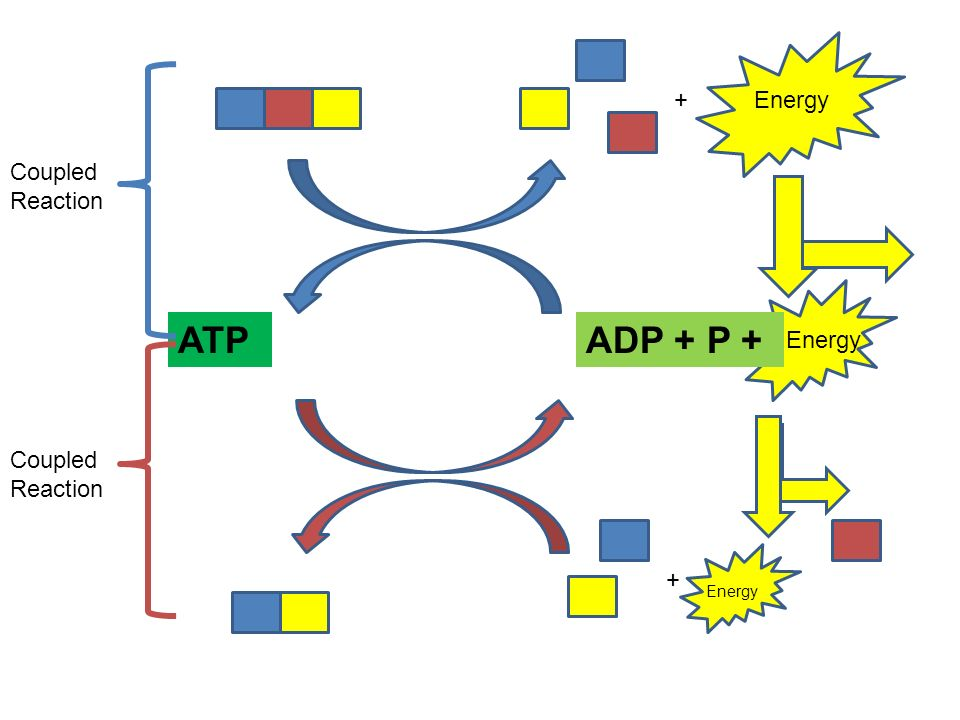 Cellular respiration catabolism entropy energy for anabolismwork 4 energy atpadp p energy coupled reaction ccuart Gallery