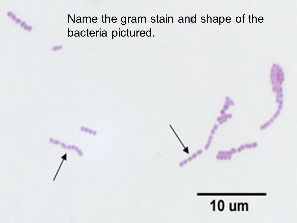 Name the gram stain and shape of the bacteria pictured.