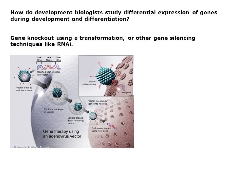 How do development biologists study differential expression of genes during development and differentiation.