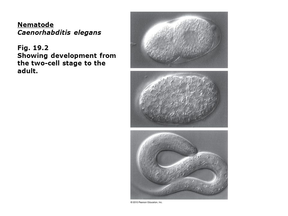 Nematode Caenorhabditis elegans Fig Showing development from the two-cell stage to the adult.
