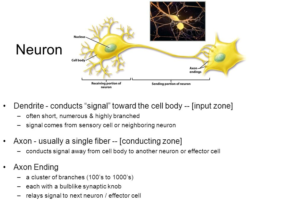 Neuron Dendrite - conducts signal toward the cell body -- [input zone] –often short, numerous & highly branched –signal comes from sensory cell or neighboring neuron Axon - usually a single fiber -- [conducting zone] –conducts signal away from cell body to another neuron or effector cell Axon Ending –a cluster of branches (100's to 1000's) –each with a bulblike synaptic knob –relays signal to next neuron / effector cell