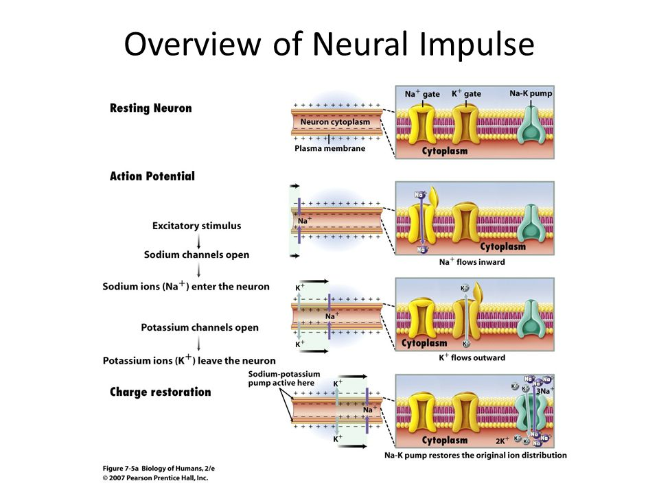 Overview of Neural Impulse
