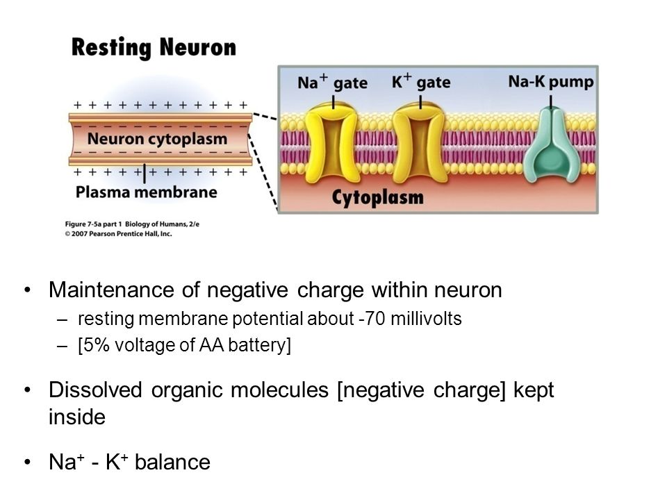 Maintenance of negative charge within neuron –resting membrane potential about -70 millivolts –[5% voltage of AA battery] Dissolved organic molecules [negative charge] kept inside Na + - K + balance