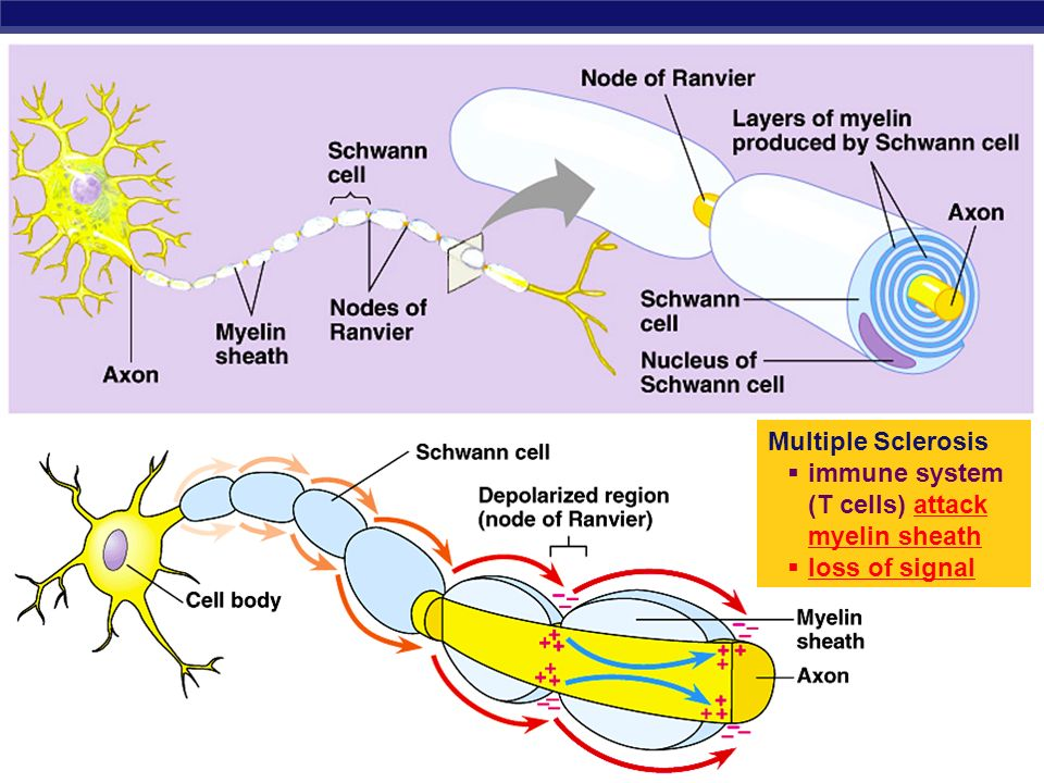 AP Biology Myelin sheath signal direction  Axon coated with Schwann cells  insulates axon  speeds signal  signal hops from node to node  saltatory conduction  150 m/sec vs.