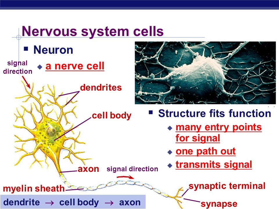AP Biology Why do animals need a nervous system.