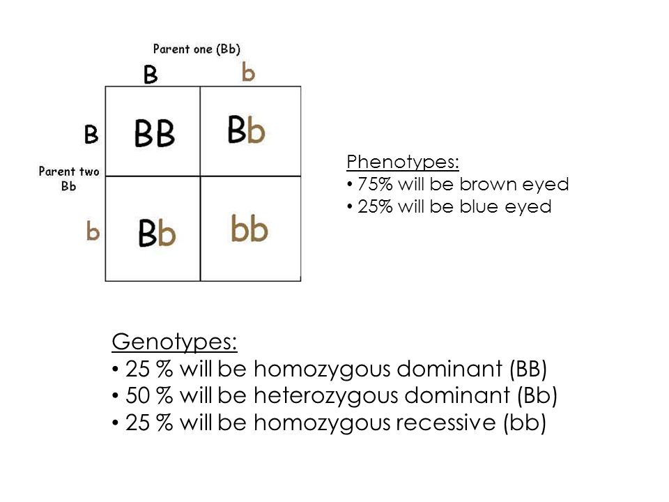 Genotypes: 25 % will be homozygous dominant (BB) 50 % will be heterozygous dominant (Bb) 25 % will be homozygous recessive (bb) Phenotypes: 75% will be brown eyed 25% will be blue eyed