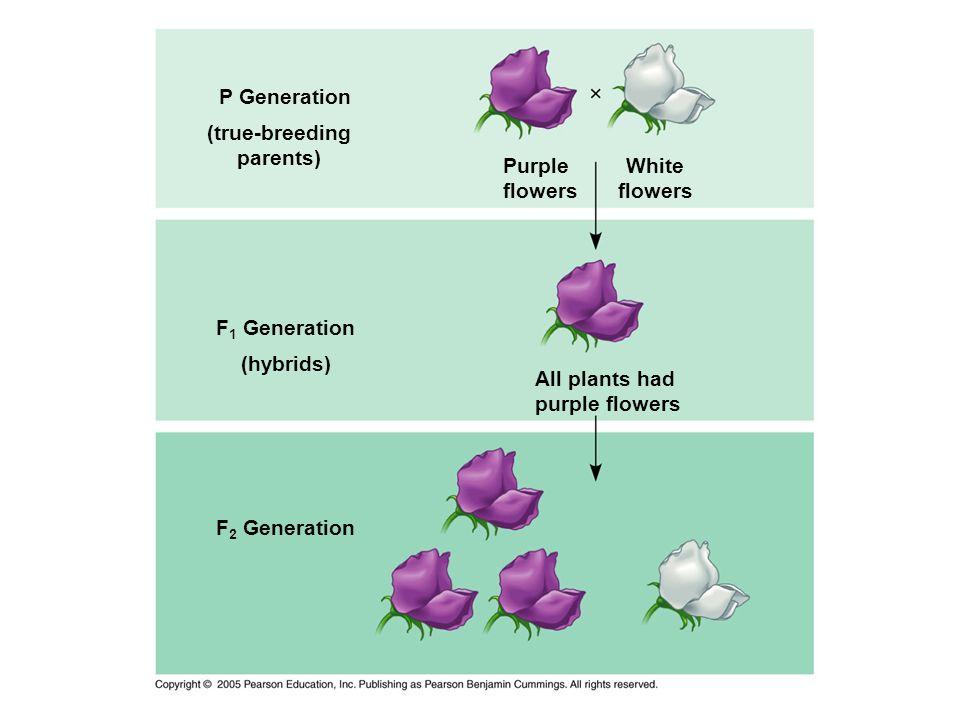 P Generation (true-breeding parents) F 1 Generation (hybrids) F 2 Generation Purple flowers White flowers All plants had purple flowers