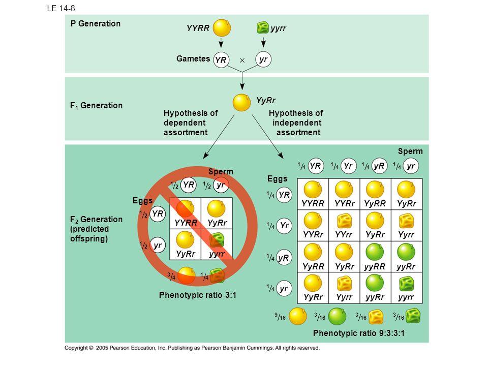 LE 14-8 P Generation F 1 Generation YYRR Gametes YR yr yyrr YyRr Hypothesis of dependent assortment Hypothesis of independent assortment Sperm Eggs YR Yr yrYR yr Eggs YYRRYyRr yyrr yR yr Phenotypic ratio 3:1 F 2 Generation (predicted offspring) YYRR YYRrYyRRYyRr YYRrYYrrYyRrYyrr YyRRYyRryyRRyyRr YyRrYyrryyRryyrr Phenotypic ratio 9:3:3:1 YRYryRyr Sperm 1 2 1 4 1 4 1 4 1 4 1 4 3 4 1 2 1 2 1 2 1 4 9 16 3 3 3 1 4 1 4 1 4