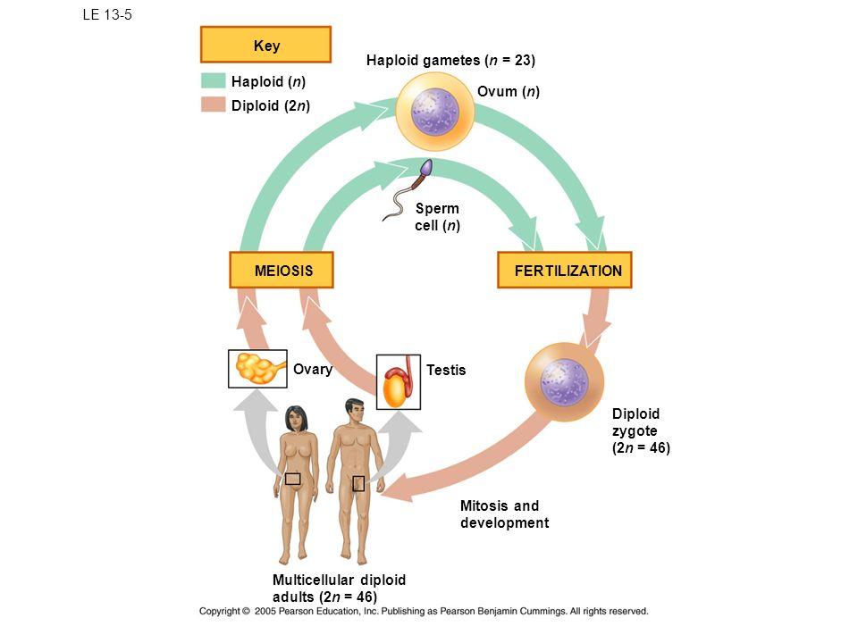 LE 13-5 Key Haploid (n) Diploid (2n) Haploid gametes (n = 23) Ovum (n) Sperm cell (n) Testis Ovary Mitosis and development Multicellular diploid adults (2n = 46) FERTILIZATIONMEIOSIS Diploid zygote (2n = 46)