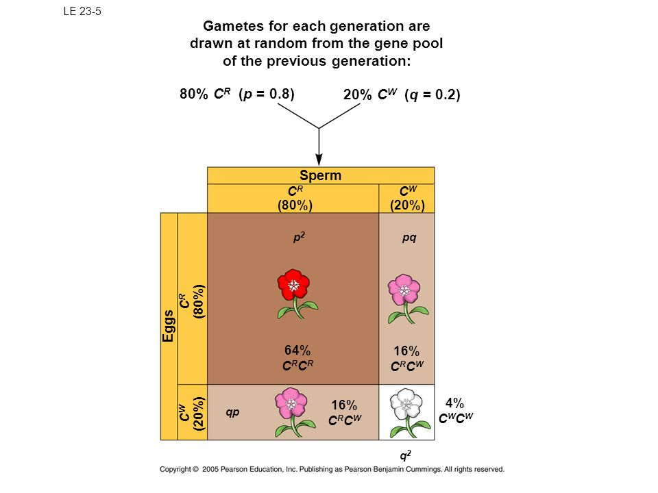 LE 23-5 Gametes for each generation are drawn at random from the gene pool of the previous generation: 80% C R (p = 0.8) 20% C W (q = 0.2) Sperm C R (80%) C W (20%) pqp2p2 16% C R C W 64% C R Eggs C W (20%) C R (80%) 16% C R C W qp 4% C W q2q2
