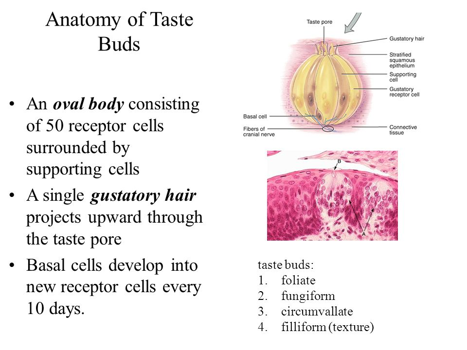 Anatomy of Taste Buds An oval body consisting of 50 receptor cells surrounded by supporting cells A single gustatory hair projects upward through the taste pore Basal cells develop into new receptor cells every 10 days.