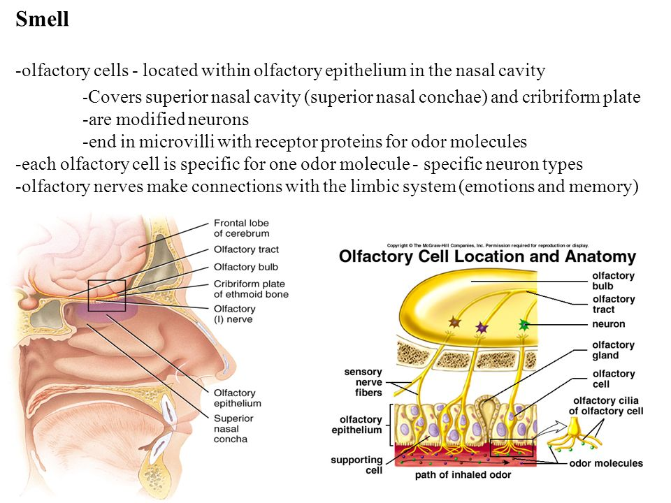 Smell -olfactory cells - located within olfactory epithelium in the nasal cavity - Covers superior nasal cavity (superior nasal conchae) and cribriform plate -are modified neurons -end in microvilli with receptor proteins for odor molecules -each olfactory cell is specific for one odor molecule - specific neuron types -olfactory nerves make connections with the limbic system (emotions and memory)