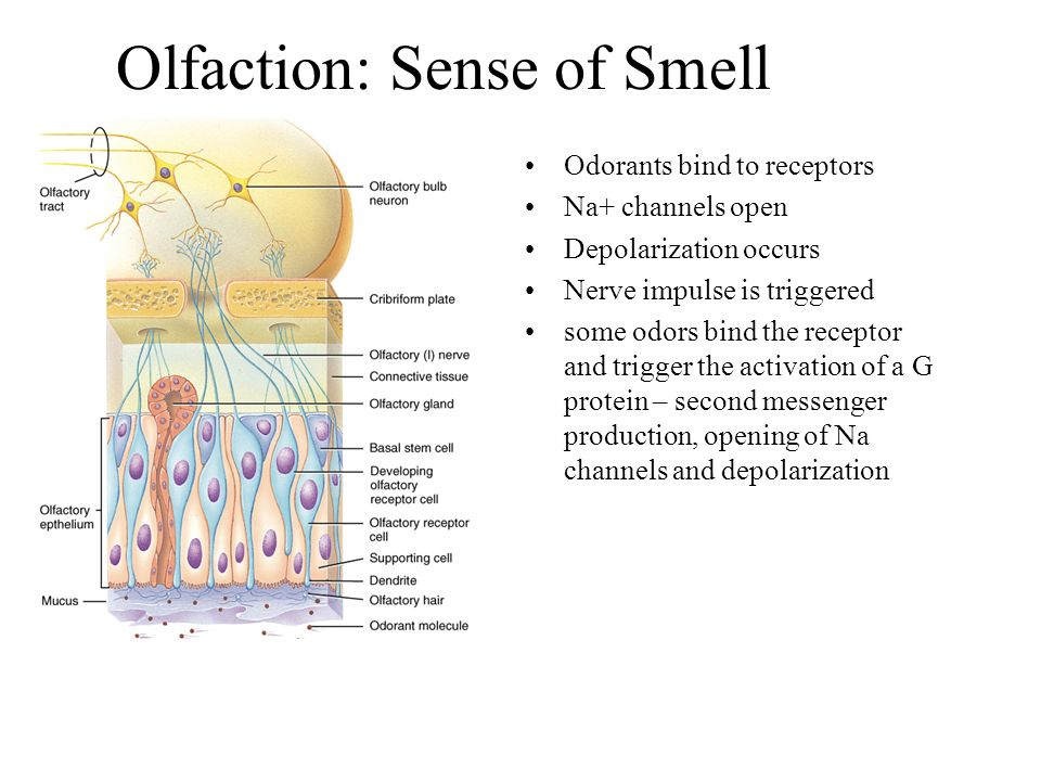 Olfaction: Sense of Smell Odorants bind to receptors Na+ channels open Depolarization occurs Nerve impulse is triggered some odors bind the receptor and trigger the activation of a G protein – second messenger production, opening of Na channels and depolarization