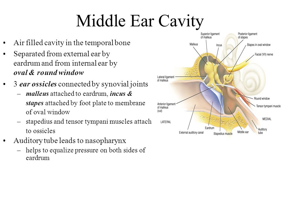 Middle Ear Cavity Air filled cavity in the temporal bone Separated from external ear by eardrum and from internal ear by oval & round window 3 ear ossicles connected by synovial joints –malleus attached to eardrum, incus & stapes attached by foot plate to membrane of oval window –stapedius and tensor tympani muscles attach to ossicles Auditory tube leads to nasopharynx –helps to equalize pressure on both sides of eardrum