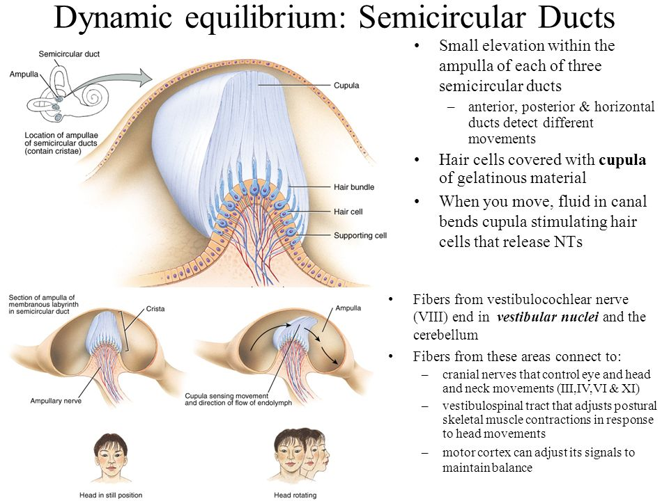 Dynamic equilibrium: Semicircular Ducts Small elevation within the ampulla of each of three semicircular ducts –anterior, posterior & horizontal ducts detect different movements Hair cells covered with cupula of gelatinous material When you move, fluid in canal bends cupula stimulating hair cells that release NTs Fibers from vestibulocochlear nerve (VIII) end in vestibular nuclei and the cerebellum Fibers from these areas connect to: –cranial nerves that control eye and head and neck movements (III,IV,VI & XI) –vestibulospinal tract that adjusts postural skeletal muscle contractions in response to head movements –motor cortex can adjust its signals to maintain balance