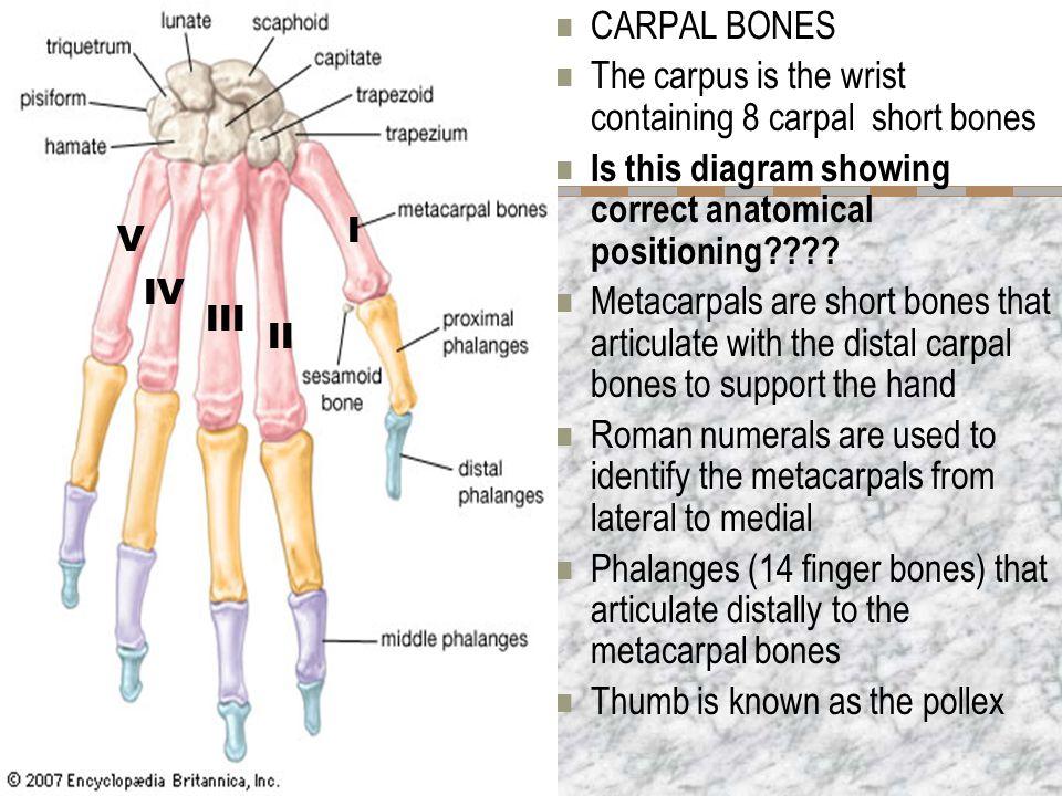 Finger bones anatomy