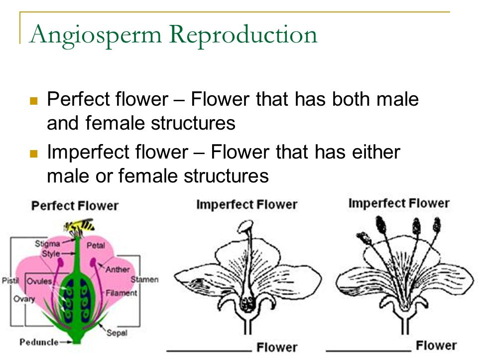 Angiosperm Reproduction Perfect flower – Flower that has both male and female structures Imperfect flower – Flower that has either male or female structures