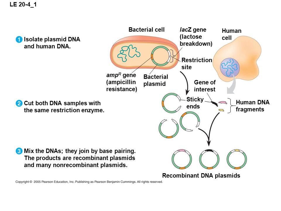 LE 20-4_1 Isolate plasmid DNA and human DNA. Cut both DNA samples with the same restriction enzyme.