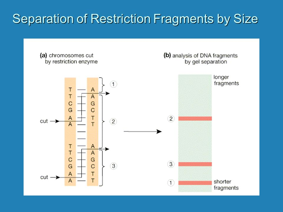 Separation of Restriction Fragments by Size